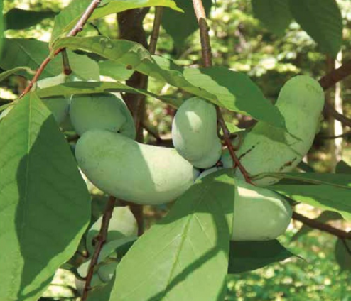 Permaculture Q&A: Let's Talk Pawpaws