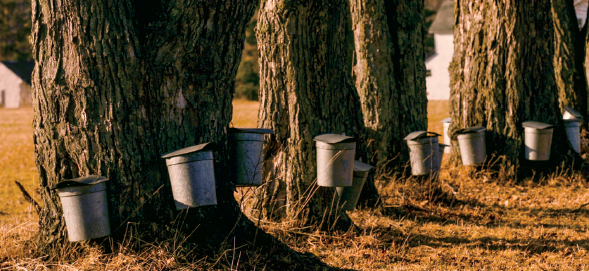 Row of Sugaring buckets