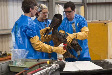 An oil-soaked pelican.