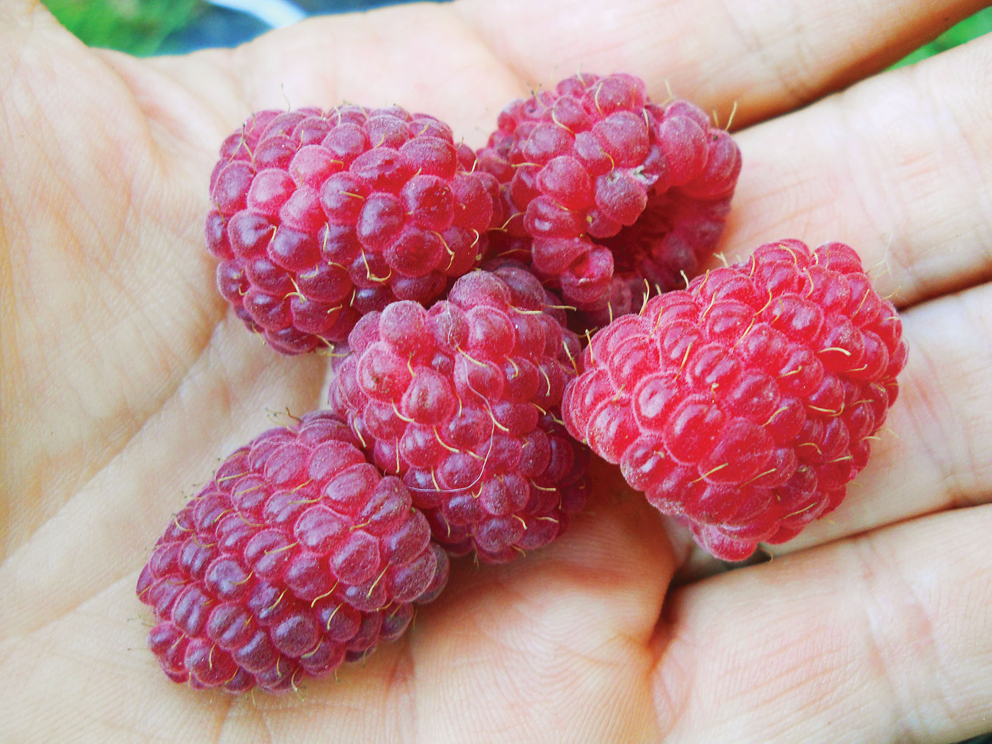 Bramble On: The Ins and Outs of Growing Raspberries