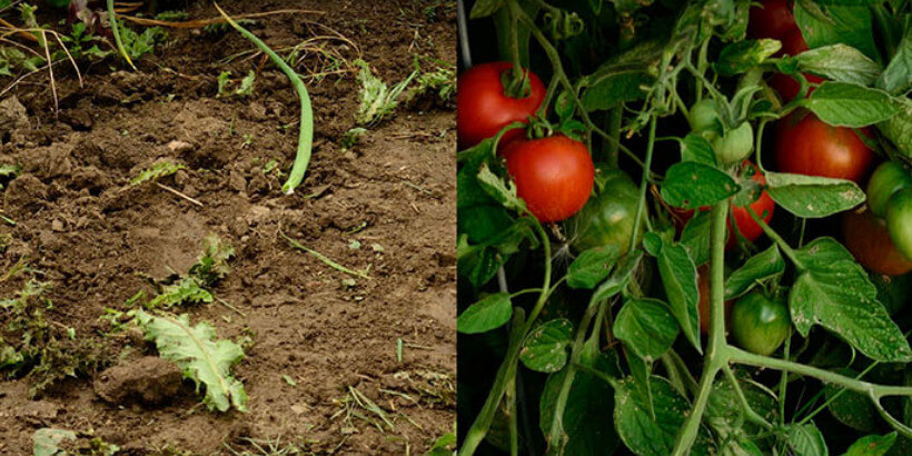 tomatoes growing