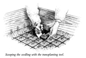 Scooping the Seedling with the Transplanting Tool