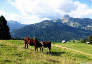 cows at foot of a mountain