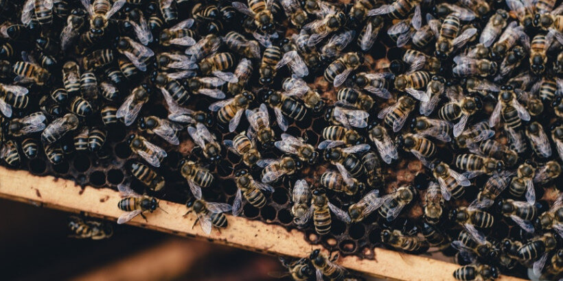 A tray of bees