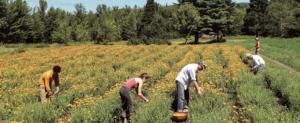 organic calendula farm