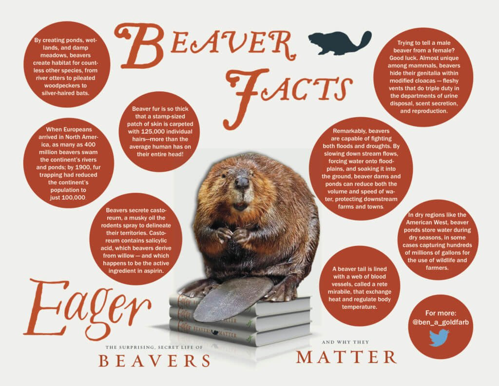 beaver facts graphic