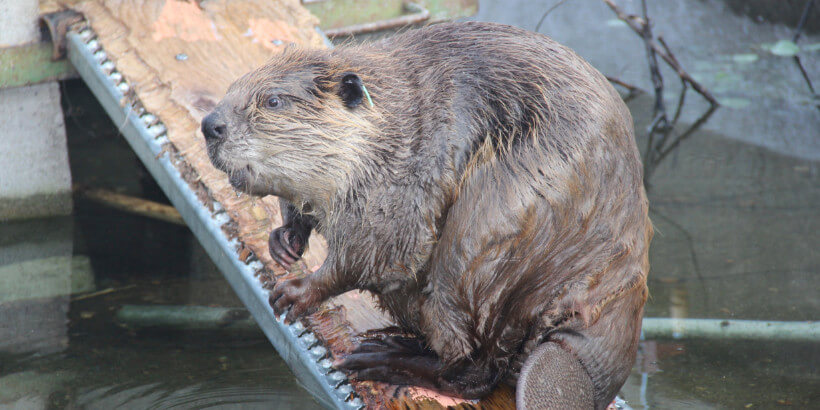 Beaver on a plank above water