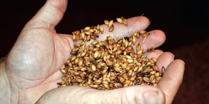 malt grain Photo by Jereme Zimmerman