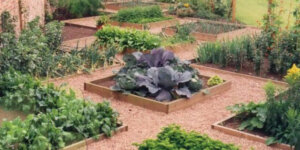 Multiple garden beds with vegetables
