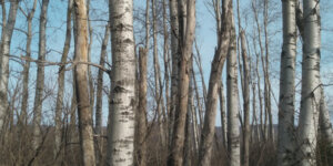 Quaking aspen grove in upstate New York. Notice the thick under- growth of shrubs as well as the snags with woodpecker holes.