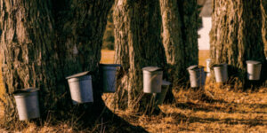 sugarbuckets attached to trees