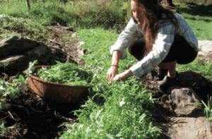 Arugula - Resilient Farm and Homestead