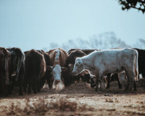cattle in a group