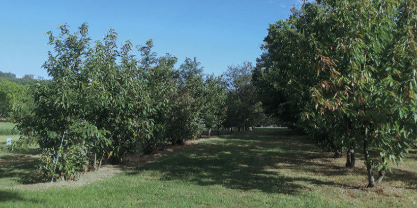 The breeding program at the Lockwood, Connecticut, Agricultural Experi- ment Station run by Dr. Sandra Anagnostakis. This program includes species from all over the world and extends through many di erent plant- ings. This particular planting is a mix of American chestnut and Ozark chinquapin and also includes genetics of Japanese and Henry chestnut.