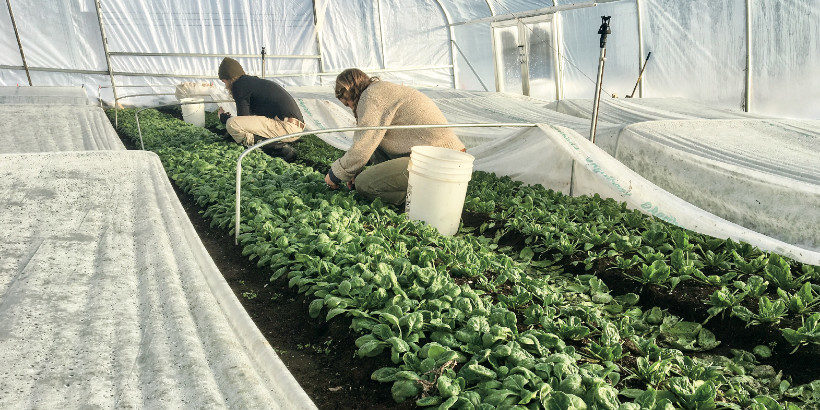 Harvesting winter spinach