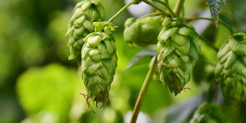 To Hop or Not to Hop? | Chelsea Green Publishing