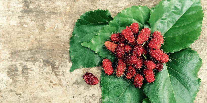 bs-mulberries-banner