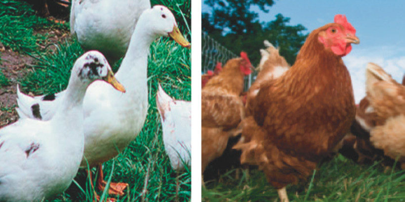 Are you Team Duck or Team Chicken? | Chelsea Green Publishing