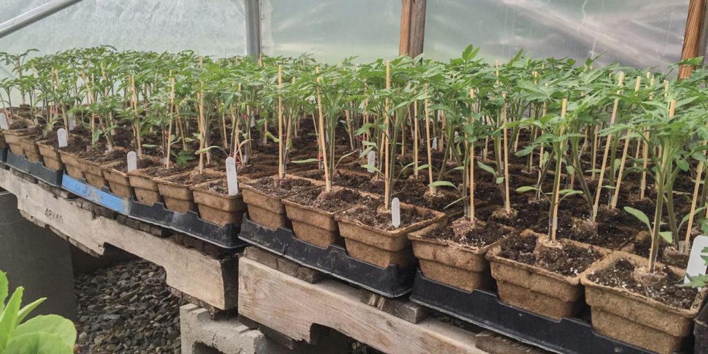 greenhouseseedlings