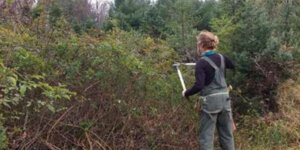 trimming a thicket of multiflora rose