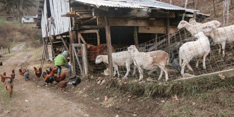chickens, goats, and a young farmer feeding the animals