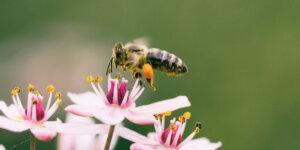 honeybee on flower