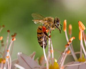 honney bee on flower