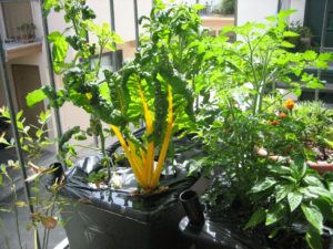 fully grown plants in plastic bucket