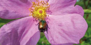 japanese beetle on flower