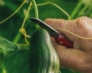 hand cutting cucumber