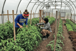 farmers picking vegetables in greenhouse