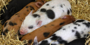 brown and white speckled piglets