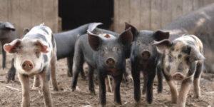 four pigs