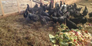 hens eating food scraps