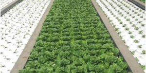 Lettuce growing in a deep water culture system