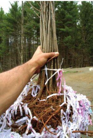 Locust seedlings