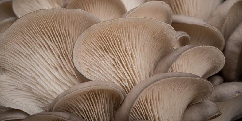 Mushroom Buyers In Tumakuru