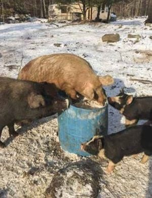 pigs eating out of a barrel
