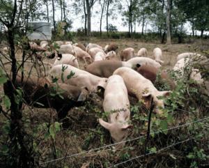 pigs grazing