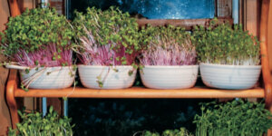 sprouts in pots on shelves