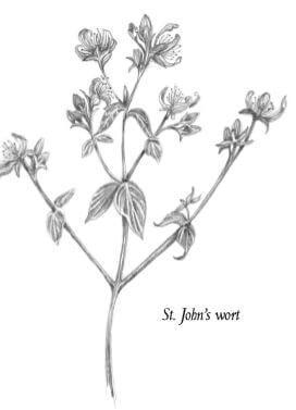 st john's wart plant