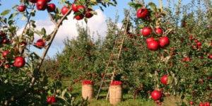 Apples on apple trees